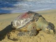 Tartaruga marinha é encontrada morta na praia do Novo Prado