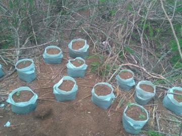 Polícia encontra roça de maconha no quintal de uma casa na Bahia