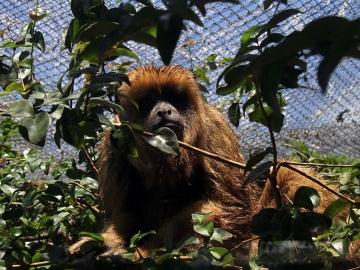 Em janeiro, 58 macacos foram encontrados mortos em Salvador