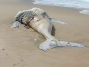 Duas baleias são achadas mortas no  litoral de Ilhéus