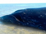 Baleia jubarte é encontrada morta em Nova Viçosa
