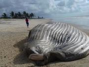 Baleia de 10 metros é encontrada morta em uma praia da cidade de Alcobaça