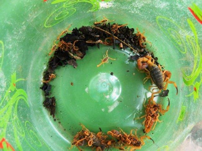 Escorpiões-amarelos ão venenosos e preocupam moradores em Itapebi. (Foto: Arnaldo Alves/ItapebiAcontece)
