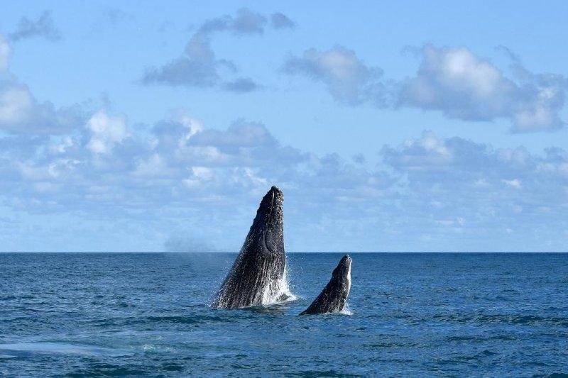 Baleia e filhote (Divulgação / Veracel)