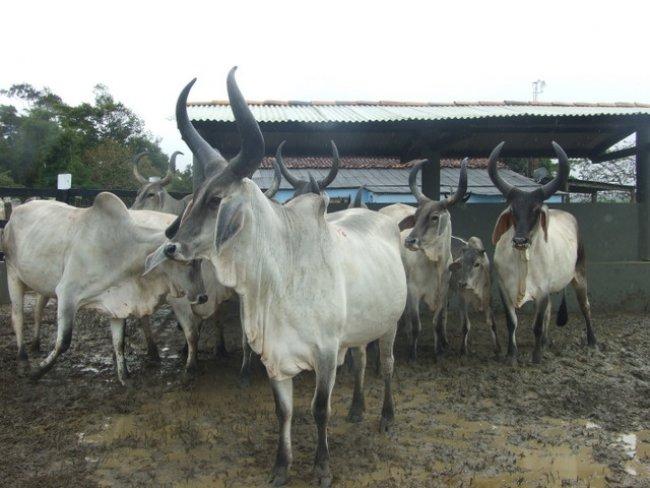 A Esmeralda tem um plantel de gado da raça Guzerá que está entre os mais bem selecionados do país, com participação em grandes feiras de animais e exposições por todos os cantos do Brasil. (Foto: ASCOM)