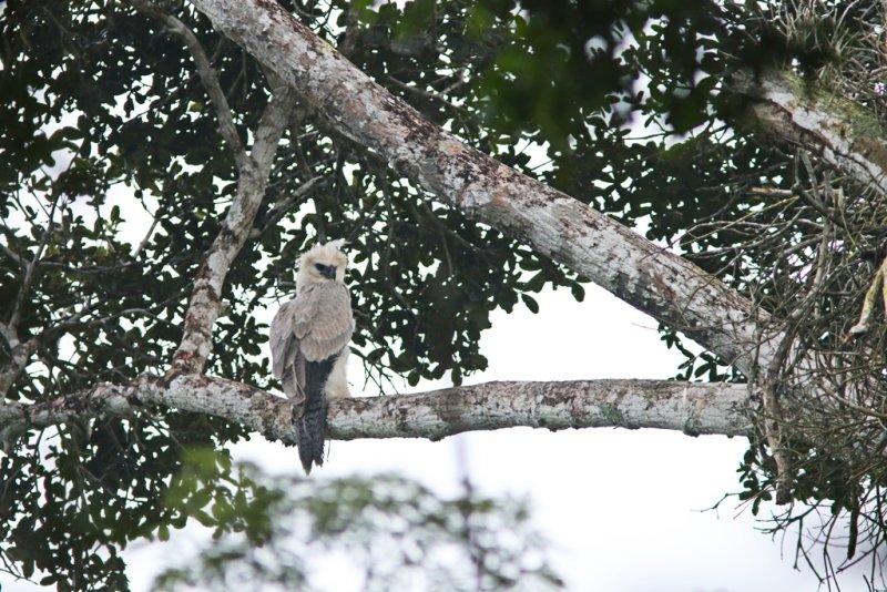 O grupo de pesquisadores do Projeto Harpia na Mata Atlântica comprovou a presença de dois ninhos de harpia dentro da reserva. (Divulgação)
