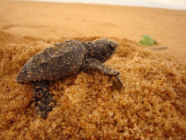 Filhote de tartaruga (Divulgação)