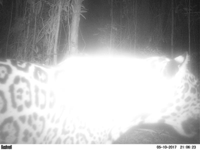 Onça-pintada é o maior felino das Américas (Foto: Divulgação)