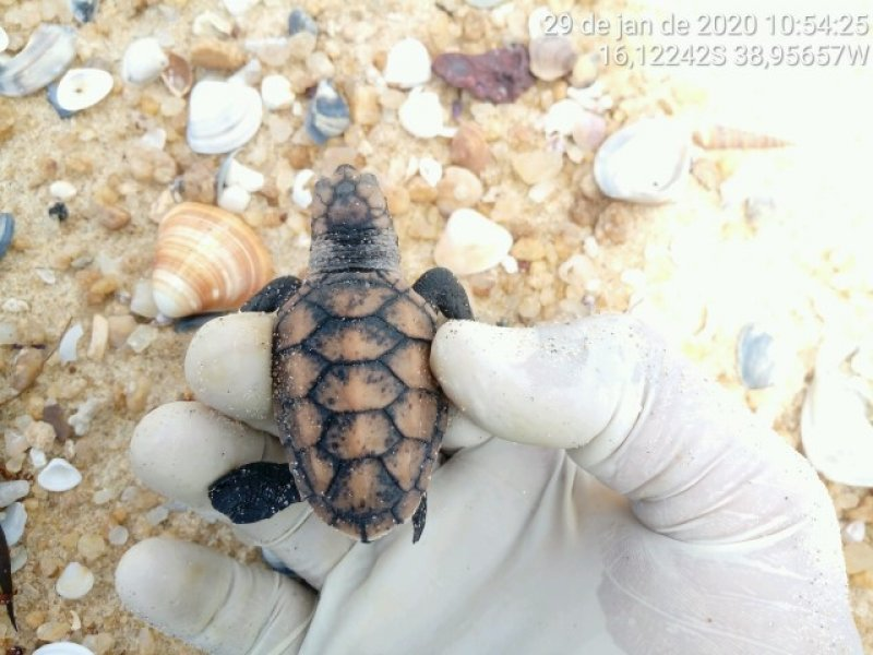 Tartaruga Marinha (Divulgação / Veracel)