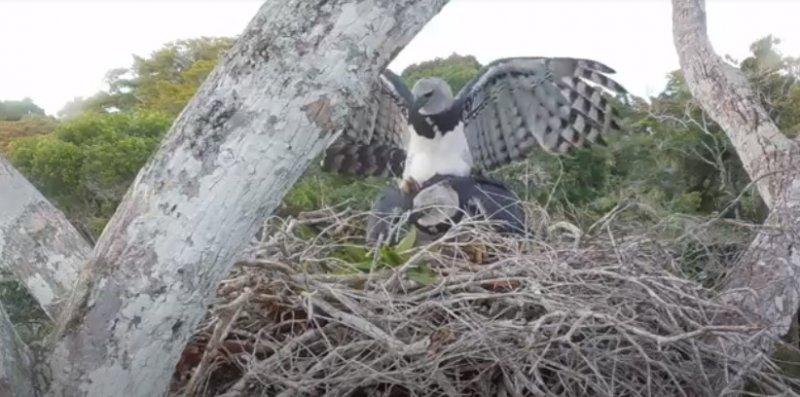 Imagem rara do momento da cópula de casal de harpias registrado na Estação Veracel. (Fonte: Projeto Harpia - Mata Atlântica / Universidade Federal do Espírito Santo / Apoio: Veracel)