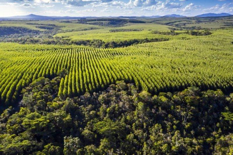 Imagem aérea de uma plantação de eucalipto mesclada com corredores ecológicos de Mata Atlântica. (Foto Ricardo Telles)