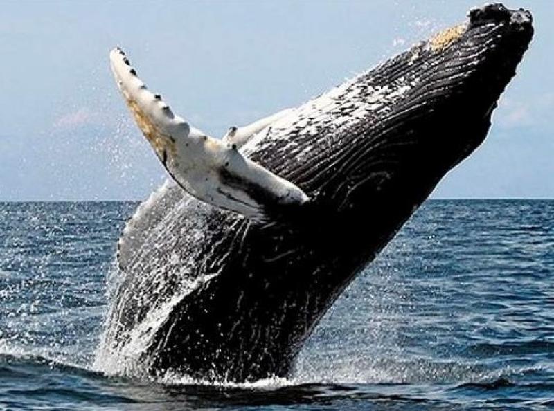 Baleias migram da Antártida para as águas quentes do litoral brasileiro, em especial para o sul da Bahia.(Reprodução: Internet)