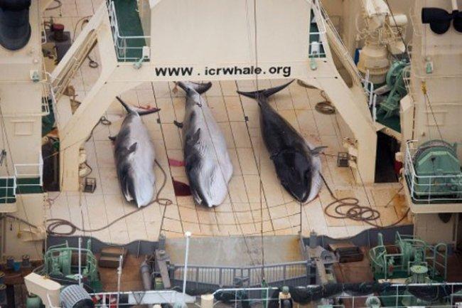 Imagem feita pelo braço australiano da ONG Sea Shepherd mostra três exemplares de baleia-de-minke capturados pelo navio japonês Nisshin Maru (Foto: Tim Watters/Sea Shepherd/AFP)