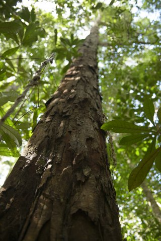 Árvore Pau- Brasil_aprox 800 anos - Crédito Luciano Candisani (Divulgação)