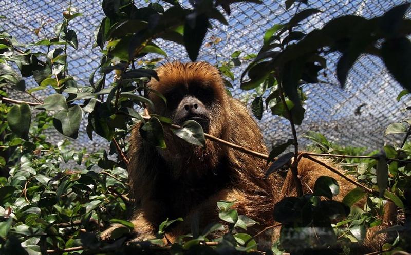 Macacos NÃO transmitem a doença para o ser humano. (Foto: Evandro Veiga/Arquivo CORREIO)