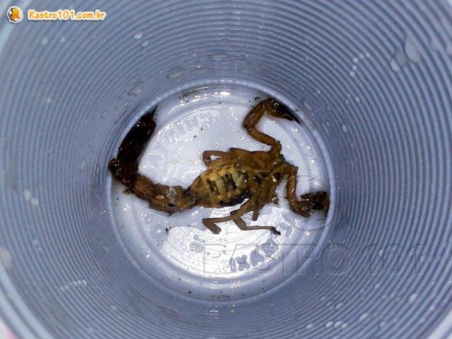 Escorpião foi encontrado por crianças e colocada em um copo descartável depois de morto. (Foto: Rastro101)