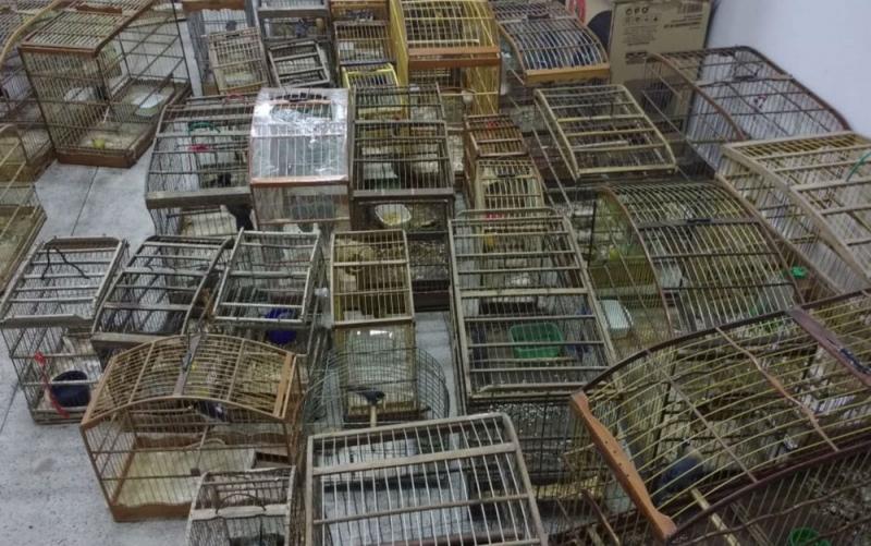 Cerca de 500 pássaros foram apreendidos. (Foto: Divulgação/Inema)