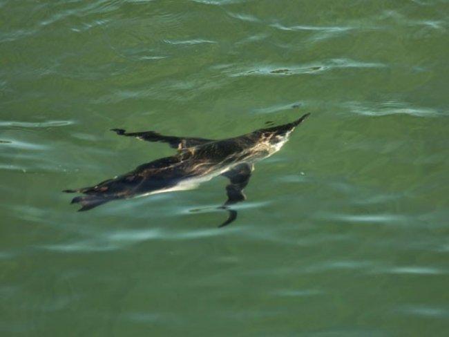 Pinguins são achados no litoral do extremo sul da Bahia <br /> (Foto: Divulgação/Pat Ecosmar)<br />