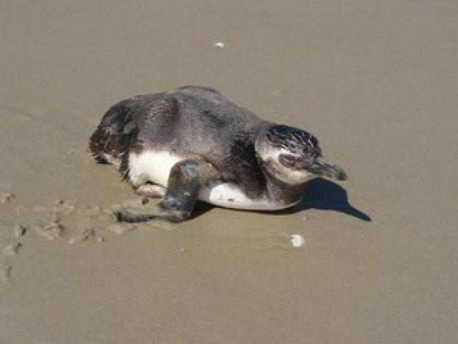 Pinguim foi localizado na orla de Porto Seguro, na Bahia<br /> (Foto: Divulgação/Pat Ecosmar)<br />