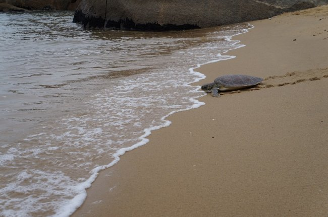 Todos os anos, centenas de tartarugas marinhas buscam as praias da região de Belmonte e Santa Cruz Cabrália para desova.