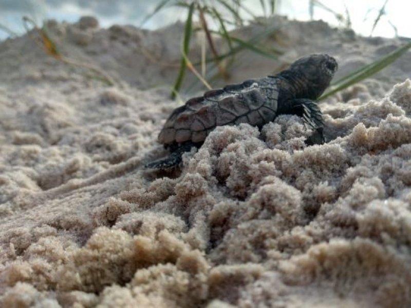 As ações de monitoramento ambiental da empresa na temporada de setembro de 2020 e abril deste ano ajudaram na proteção de 266 ninhos de tartarugas marinhas no entorno do Terminal Marítimo de Belmonte e acompanharam o nascimento de 14.000 filhotes de tartarugas
